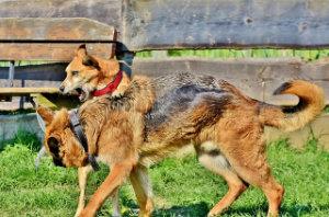 Hundetraining für agressive Hunde