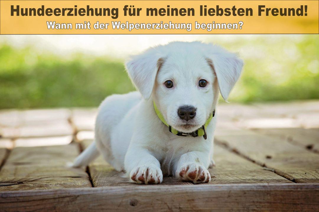 ab wann soll man mit der Hundeerziehung bei Welpen beginnen?